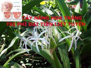 Cây hoa náng và tác dụng chữa phì đại tuyến tiền liệt